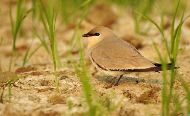 海南添两新鸟种纪录 灰燕鸻和仓鸮是首次纪录