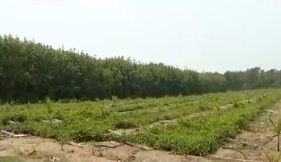 大风突袭:果园一分钟被毁 种植户损失惨重