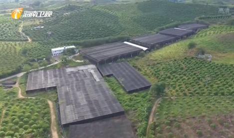三亞育才生態區:立足資源優勢 農業產業扶貧見成效
