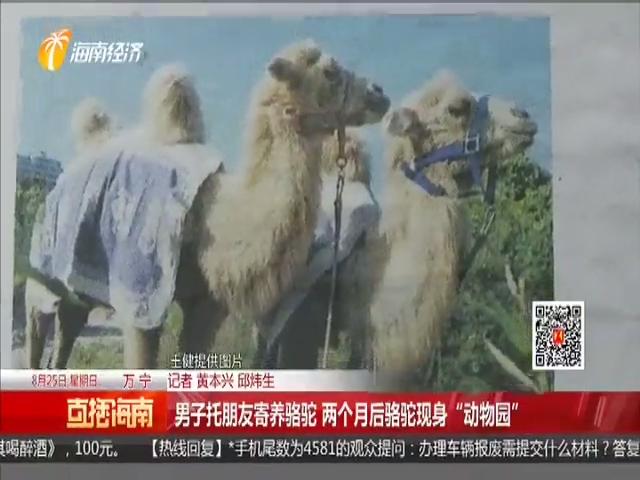 """男子托朋友寄养骆驼 两个月后骆驼现身""""动物园"""""""