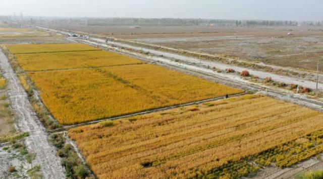 海水稻在塔克拉玛干沙漠边缘测产 亩产546.74公斤