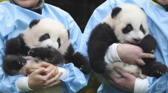 """旅比大熊猫双胞胎获""""年度熊猫幼仔奖"""""""