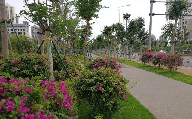 """海口琼山大道延长线(北段)绿化工程完工  途径犹如穿越""""花海"""""""