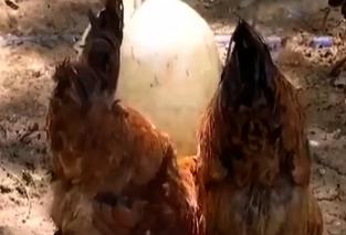 一千余只鸡接连死亡 疑误用相冲药物致中毒