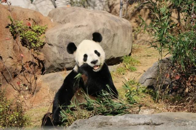 再留几天行吗?日本舍不得大熊猫回中国