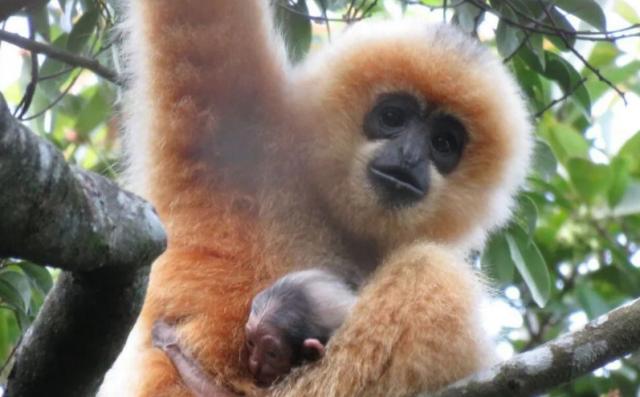 人民日报看海南│雨林深处有猿啼