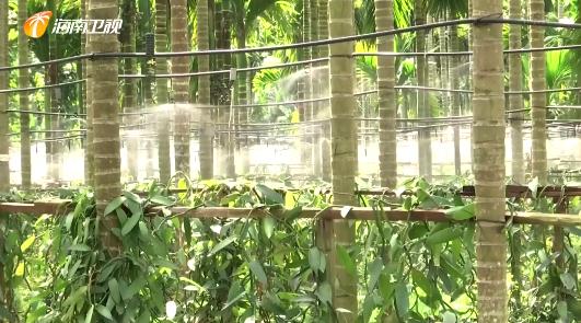 海南:槟榔黄化病防治取得新突破 可快速检测出病源