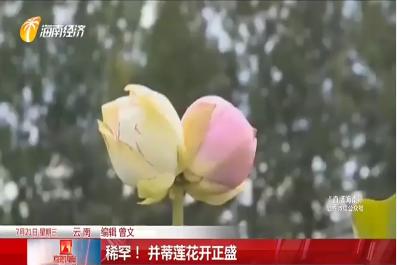 稀罕!并蒂莲花开正盛