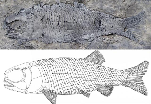 来看看距今约2.44亿年的鱼长啥样!云南发现世界最古老肋鳞裂齿鱼类